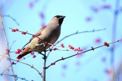Japanese Waxwing Stock Images