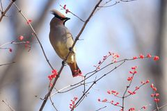Japanese Waxwing. A Japanese Waxwing stands on winter branches of Honeysuckle. Scientific name: Bombycilla japonica Royalty Free Stock Photos