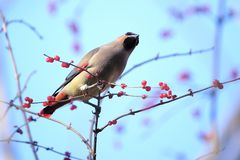 Japanese Waxwing. A Japanese Waxwing stands on winter branches of Honeysuckle. Scientific name: Bombycilla japonica Stock Photo