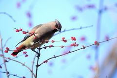 Japanese Waxwing. A Japanese Waxwing stands on winter branches of Honeysuckle. Scientific name: Bombycilla japonica Royalty Free Stock Photo