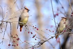 Japanese Waxwing. Two Japanese Waxwing stand on winter branches of Honeysuckle. Scientific name: Bombycilla japonica Royalty Free Stock Photo