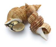 Japanese whelk Stock Photo