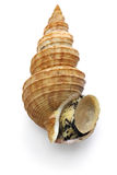 Japanese whelk Stock Photography