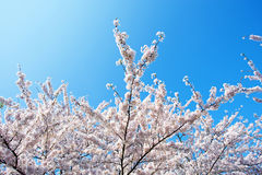 Japanese white cherry blossom in spring. In Netherlands Royalty Free Stock Images