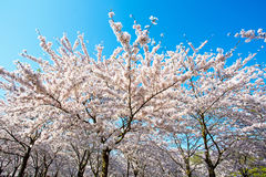 Japanese white cherry blossom in spring Stock Image