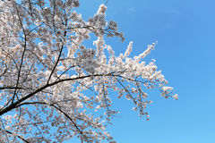 Japanese white cherry blossom in spring. Time Stock Photos