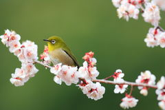 Japanese White-eye Stock Photos