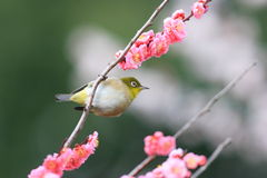 Japanese White-eye Stock Image