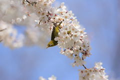 Japanese White-eye Royalty Free Stock Photography