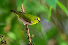 Japanese white Eye Stock Photo