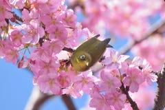 Japanese White Eye Bird on blooming Pink Cherry blossom tree. Japanese White Eye Mejiro Bird on blooming Pink Cherry blossom tree Royalty Free Stock Photo