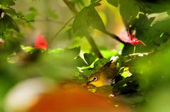 Japanese white-eye bird (mejiro) Stock Photography