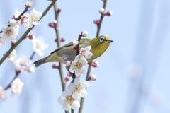 Japanese White-eye bird Royalty Free Stock Photos