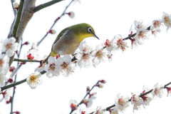 Japanese White-eye bird Royalty Free Stock Image