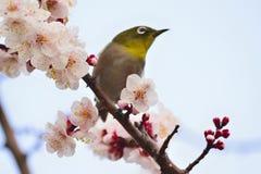Japanese White Eye Bird on White Plum blossom tree Royalty Free Stock Photo