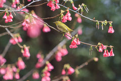 Japanese white-eye and cherry blossom Stock Photos