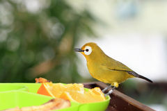 Japanese  white eye Stock Photos