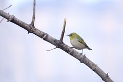 Japanese White-eye. The close-up of a Japanese White-eye stands on branch. Scientific name: Zosterops japonicus stock photo