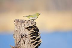 Japanese White-eye. The close-up of a Japanese White-eye stands on tree stool. Scientific name: Zosterops japonicus stock photography