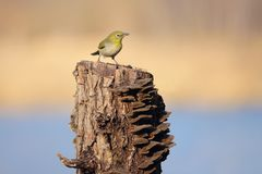 Japanese White-eye. The close-up of a Japanese White-eye stands on tree stool. Scientific name: Zosterops japonicus royalty free stock photo