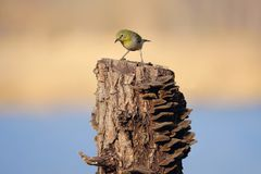 Japanese White-eye. The close-up of a Japanese White-eye stands on tree stool. Scientific name: Zosterops japonicus stock images