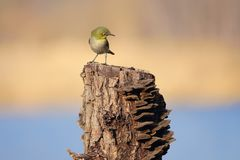 Japanese White-eye. The close-up of a Japanese White-eye stands on tree stool. Scientific name: Zosterops japonicus stock photo
