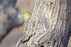 Japanese White-eye. The close-up of a Japanese White-eye stands on tree trunk. Scientific name: Zosterops japonicus royalty free stock photos