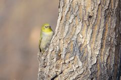Japanese White-eye. The close-up of a Japanese White-eye stands on tree trunk. Scientific name: Zosterops japonicus stock photography