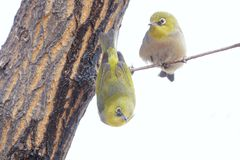 Japanese White-eye. A Japanese White-eye stands on branch and another hangs upside down on branch. Scientific name: Zosterops japonicus royalty free stock photos
