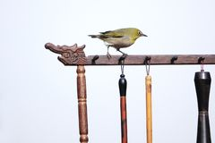 Japanese White-eye. A Japanese White-eye stands on Chinese brush holder. Scientific name: Zosterops japonicus stock images