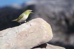 Japanese White-eye. A Japanese White-eye stands on rocks. Scientific name: Zosterops japonicus stock image