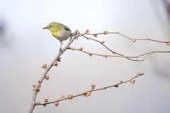 Japanese White-eye. A Japanese White-eye stands on spring branch. Scientific name: Zosterops japonicus royalty free stock photo