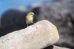 Japanese White-eye. A Japanese White-eye stands on stone. Scientific name: Zosterops japonicus stock photo