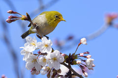 Japanese white-eye Stock Image