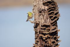 Japanese White-eye. One Japanese White-eye stands on stump with many mushrooms. Scientific name: Zosterops japonicus stock photos