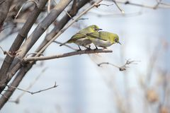 Japanese White-eye. A pair of Japanese White-eye stand on winter branch. Scientific name: Zosterops japonicus royalty free stock photo
