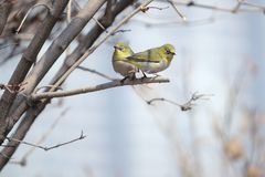 Japanese White-eye. A pair of Japanese White-eye stand on winter branch. Scientific name: Zosterops japonicus stock images