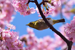 Japanese White Eye on a Pink Cherry Blossom Tree Royalty Free Stock Photography