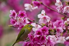 Japanese White-eye with pink cherry blossoms Royalty Free Stock Photo