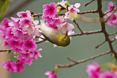 Japanese White-eye with pink cherry blossoms Royalty Free Stock Image