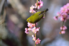 Japanese White Eye on a Plum Blossom Tree Stock Photos