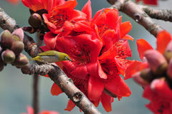 Japanese White eye on Red silk cotton tree flower. Japanese White-eye standing on Red silk cotton tree flower Royalty Free Stock Photo