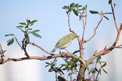 Japanese White-eye. A Japanese White-eye stands in branches. Scientific name: Zosterops japonicus stock photo