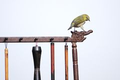 Japanese White-eye. A Japanese White-eye stands on Chinese brush holder. Scientific name: Zosterops japonicus stock photos