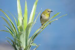 Japanese White-eye. A Japanese White-eye stands on leaves of pineapple. Scientific name: Zosterops japonicus stock photos