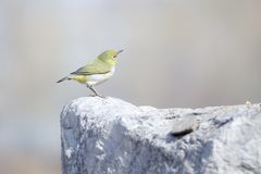 Japanese White-eye. A Japanese White-eye stands on rock. Scientific name: Zosterops japonicus royalty free stock photos