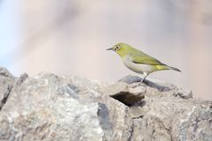 Japanese White-eye. A Japanese White-eye stands on rock. Scientific name: Zosterops japonicus stock image