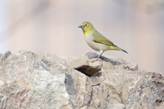 Japanese White-eye. A Japanese White-eye stands on rocks. Scientific name: Zosterops japonicus stock photography