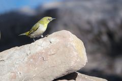 Japanese White-eye. A Japanese White-eye stands on stone. Scientific name: Zosterops japonicus stock photography