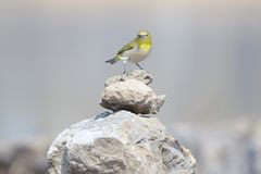 Japanese White-eye. A Japanese White-eye stands on stone. Scientific name: Zosterops japonicus royalty free stock images